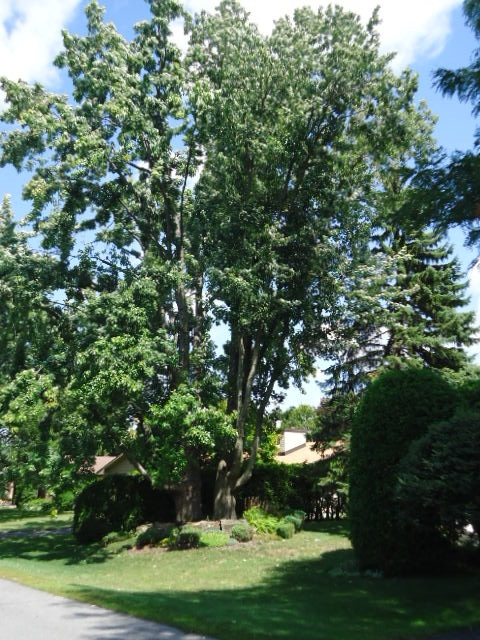 sycamoretrees