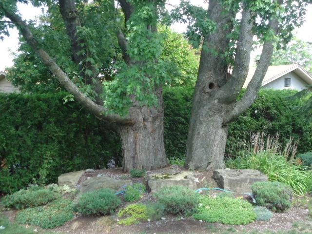 sycamoretrees2